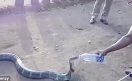 Hãi hùng cảnh người dân liều mình cho rắn hổ mang uống nước