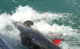 Kinh hoàng khoảnh khắc cá mập đói truy sát, đớp gọn hải cẩu