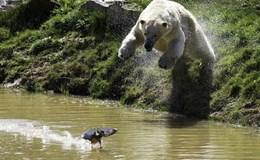 Nhảy xuống nước vồ bắt vịt, gấu trắng bị một phen bẽ mặt