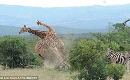 """Màn quyết đấu giữa hai con vật có chiều cao """"khủng"""" nhất thế giới"""