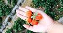 Tự tay hái trái cây tươi rói ở Mộc Châu