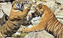 Cuộc chiến sống còn giữa hai con hổ dữ để giành nước uống