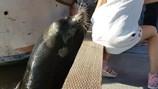 Hoảng hồn khoảnh khắc sư tử biển lôi tuột cô bé xuống nước