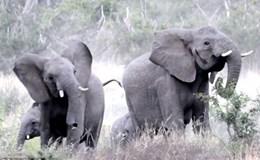 Gặp đối thủ đáng sợ, cả đàn voi hoảng loạn tháo chạy