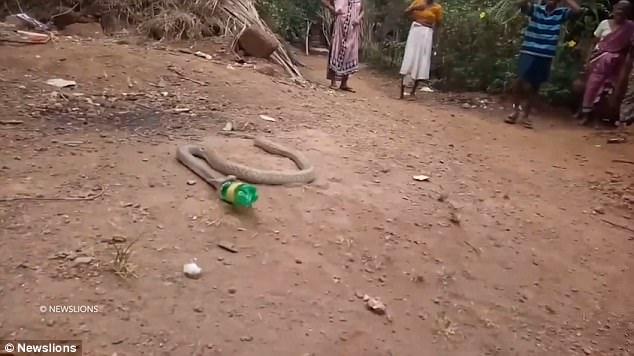 """Đáng sợ cảnh con rắn hổ mang vật vã """"nôn"""" ra chai nhựa"""