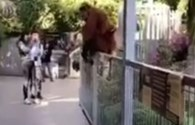 Vườn thú náo loạn vì đười ươi mẹ sổng chuồng tìm con