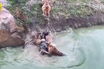 Sốc cảnh con lừa bị đẩy xuống nước cho bầy hổ cắn xé