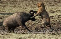 Cuộc chiến sinh tử giữa trâu rừng và bầy sư tử giữa bùn lầy