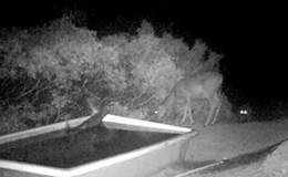 Cận cảnh sư tử rón rén lao tới kết liễu nai trong đêm tối