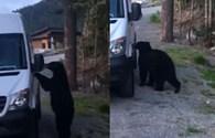 Hy hữu cảnh gấu đen thản nhiên lên ô tô bóp còi inh ỏi