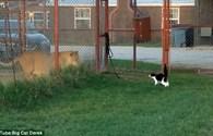 Mèo con dũng cảm cả gan chọc giận sư tử
