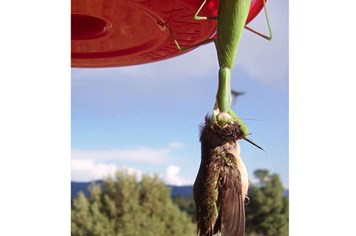 Sửng sốt hình ảnh bọ ngựa giết chết chim ruồi