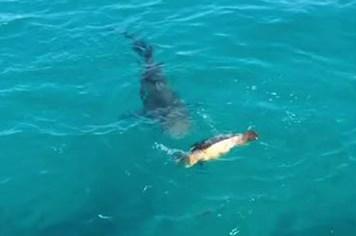 Cá mập đói điên cuồng tấn công rùa biển và cái kết bất ngờ