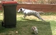 """Ngược đời hình ảnh thỏ rượt đuổi chó chạy """"trối chết"""""""