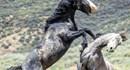 Kịch tính cuộc chiến sống mái giữa hai con ngựa hoang