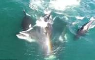 Bầy cá voi sát thủ ăn tươi nuốt sống cá voi Nam cực