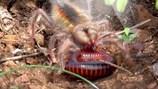 """Cận cảnh cuộc chiến sống còn giữa nhện hung dữ với con mồi """"khủng"""""""