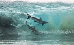 Kinh hãi khoảnh khắc 400 con cá mập lượn lờ gần bờ biển