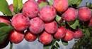Mận: Loại trái cây không phải ai cũng có thể ăn được