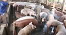 Thủ tướng yêu cầu khẩn cấp hỗ trợ người chăn nuôi lợn