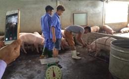 Vì sao thịt lợn Việt Nam xuất sang Trung Quốc chủ yếu theo đường tiểu ngạch?