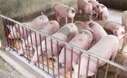 """Có hay không việc lợi dụng """"giải cứu"""" đàn lợn để... bán cám?"""