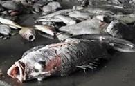 Chưa thể khẳng định cá biển 4 tỉnh miền Trung ăn được