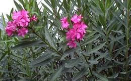 Cảnh báo ngộ độc vì ăn cây, hoa trong khuôn viên trường học