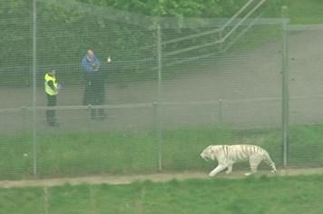 Nhân viên sở thú Anh bị hổ cắn chết trong khu nuôi nhốt