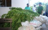 Phát hiện vụ trồng cây cần sa lớn nhất ở Bạc Liêu
