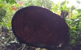 Hỏa thiêu gỗ nghiến để phi tang chứng cứ phá rừng