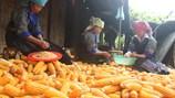 Cây ngô xóa đói ở Khao Mang