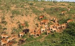 Cơ quan điều tra vào cuộc vụ thả bò phá dự án mắc-ca ở Quảng Trị