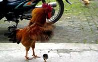 Lại nói chuyện cấm nuôi gà, lợn trong nội thị