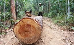 Vụ bảo kê gỗ lậu tại Tây Nguyên: Kỷ luật cán bộ, chủ tịch huyện vẫn vô can
