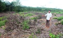 Gần 1.000 cây caosu bị hủy hoại, dân không biết kêu ai?