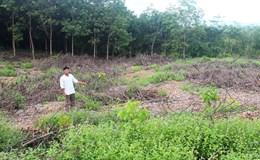 Vụ 1.000 cây caosu bị thiêu rụi: Luật sư kiến nghị nên khởi tố vụ án để điều tra