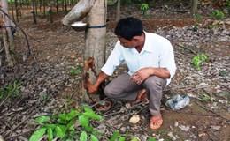 Vụ 1.000 cây caosu bị hủy hoại: Bị hại kiến nghị công an tỉnh điều tra