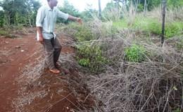 Vụ 1.000 cây caosu bị hủy hoại ở Gia Lai: Chủ tịch huyện cam kết tháo gỡ