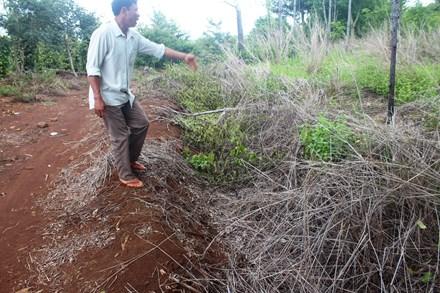 Vụ 1.000 cây caosu bị hủy hoại ở Gia Lai: Chủ tịch huyện cam kết tháo gỡ - ảnh 1