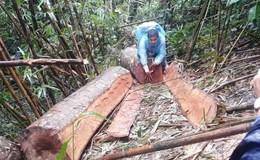 Gia Lai: Người dân cấp báo chính quyền về vụ phá rừng