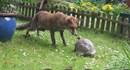 Kỳ lạ chú rùa dũng cảm chơi đùa cùng con cáo tinh ranh