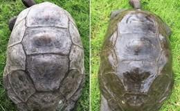 Rùa già nhất thế giới lần đầu được tắm sau 184 năm