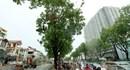 Di chuyển, chặt hạ 1.300 cây xanh ở Hà Nội: Sẽ trồng hơn 1.400 cây giáng hương thay thế