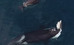 Bầy cá voi sát thủ đói mồi bủa vây, xé xác cá mập ăn thịt