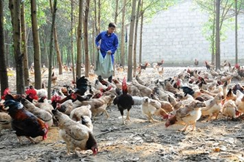Xây dựng nông thôn mới ở thị xã Sơn Tây: Nông nghiệp là trọng tâm