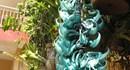 Đà Lạt và hoa móng cọp