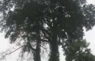 Đến Tân Kỳ, Hàm Yên xem cây sui