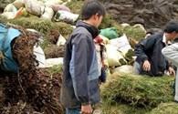 NÓNG 24H: Sự thật sau tin đồn thương lái Trung Quốc ồ ạt mua gom cây thông đất
