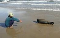 NÓNG 24H: Hải cẩu lên bờ nô đùa với dân Bình Thuận